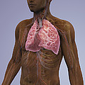 The Lungs And Cardiovascular System by Science Picture Co