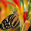 The Postman Butterfly by Saija  Lehtonen