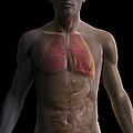 The Respiratory And Digestive Systems by Science Picture Co