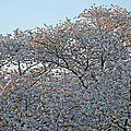 The Simple Elegance Of Cherry Blossom Trees by Cora Wandel