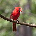The Singing Cardinal by Lara Ellis