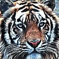 Tiger  by Steve McKinzie