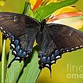 Tiger Swallowtail Butterfly, Dark Phase by Millard H. Sharp
