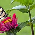 Tiger Swallowtail Butterfly On Zinnia by A Gurmankin