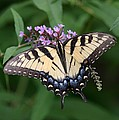 Tiger Swallowtail On Butterfly Bush by Robert E Alter Reflections of Infinity