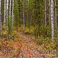 Trail In Golden Aspen Forest by Stephan Pietzko