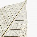 Transparent Leaf by Kelly Redinger