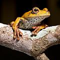 tree frog on twig in rainforest by Dirk Ercken