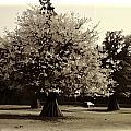 Tree With Large White Flowers by Ashish Agarwal