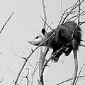 Treed Opossum by Robert Frederick