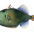 Triggerfish X-ray by D Roberts