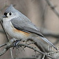 Tufted Titmouse by Ken Keener