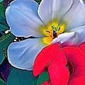 Tulip 5 by Pamela Cooper