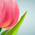 Tulip I by Emily Brown