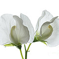 Two White Sweet Peas by Ann Garrett