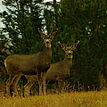 Two Young Bucks by Jeff Swan