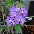 Vanda Orchid by Robert Floyd
