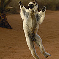 Verreauxs Sifaka Hopping Berenty by Pete Oxford