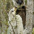 Verreaux's Sifaka by Michele Burgess