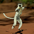 Verreauxs Sifaka Propithecus Verreauxi by Cyril Ruoso
