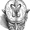 Vesalius: Brain, 1543 by Granger