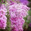 Vintage Lilac by Kamen Zagorov
