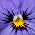 Viola Named Sorbet Blue Heaven Jump-up by J McCombie