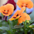 Viola Tricolor Heartsease by Michael Goyberg