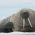 Walrus by Science Photo Library
