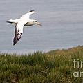 Wandering Albatross by John Shaw