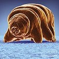 Water Bear Tardigrades by Science Picture Co