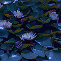 Water Lilies by Bonnie Bruno