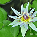Water Lily  3 by Allen Beatty