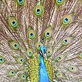 Peacock by Crystal Wightman