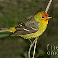 Western Tanager by Anthony Mercieca