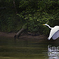 White Egret In Flight by J L Woody Wooden
