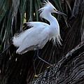 White Egret by Jeff Wright