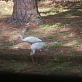 White Ibis by Robert Floyd