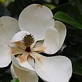 White Magnolia  by Christiane Schulze Art And Photography