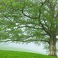 White Oak Tree In Fog by Thomas R Fletcher