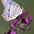 White Peacock Butterfly by Millard H. Sharp