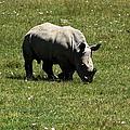 White Rhinoceros Calf  by Aidan Moran