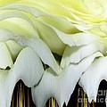 White Rose Polar Coordinates by Rose Santuci-Sofranko