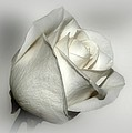 White Rose by Sandy Keeton