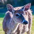 White Tail Deer Bambi In The Wild by Alex Grichenko