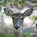 White Tailed Deer by Brandon Alms