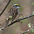 White-throated Sparrow by Ken Keener