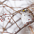 White-throated Sparrow by Ronald Grogan