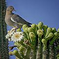 White-winged Dove Atop A Saguaro by Saija  Lehtonen