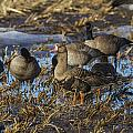 Whitefront Goose by Doug Lloyd